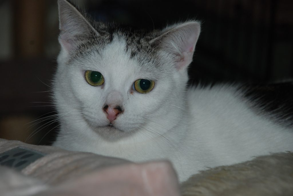 Former feral cat Zimba, after graduating from a crate