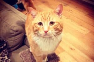 Although Noah is a confident and friendly cat, after becoming lost from his foster home he reverted to timid behaviour